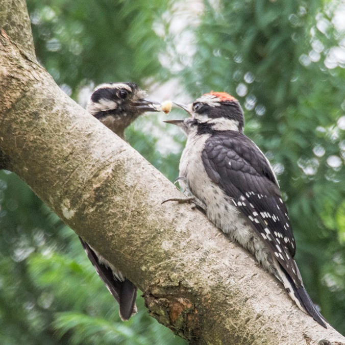 Downy Woodpecker mother and baby