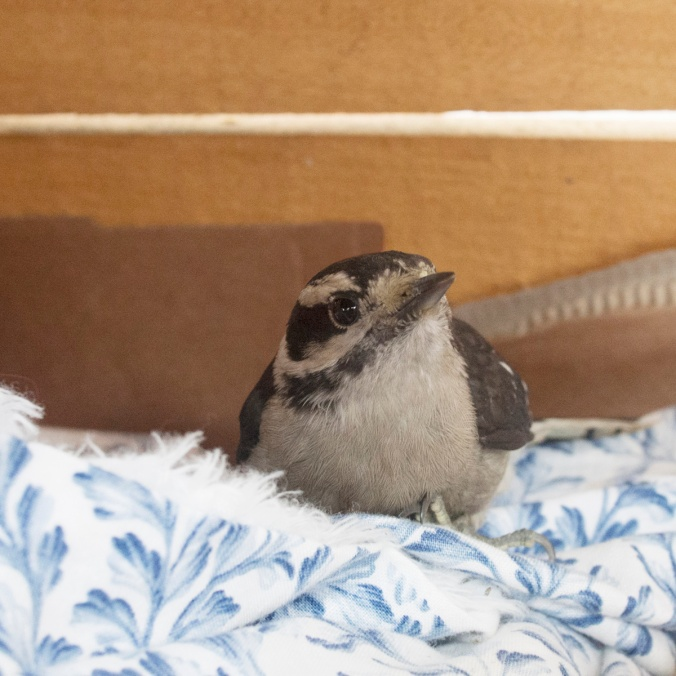 Injured Downy Woodpecker in box