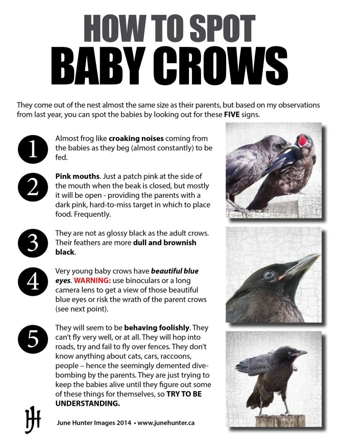 Guide to Baby Crows