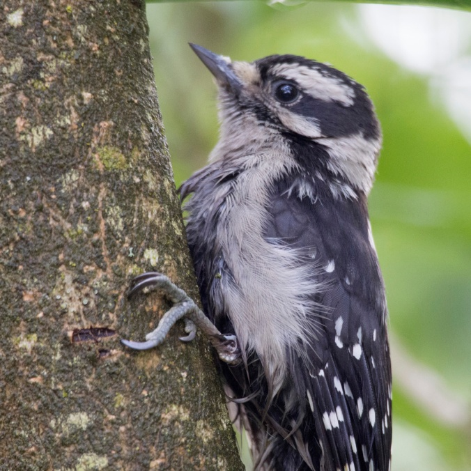 Injured Mother Downy Woodpecker