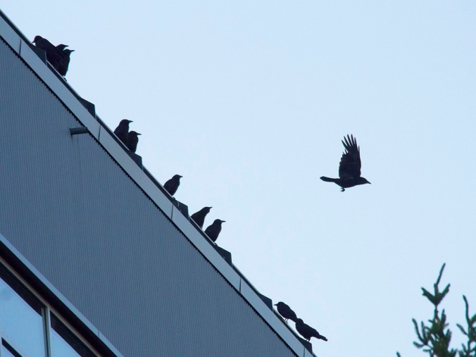 The building that was a perch for the ravens a few days earlier is a popular stopping point for crows on their evening migration to Still Creek.