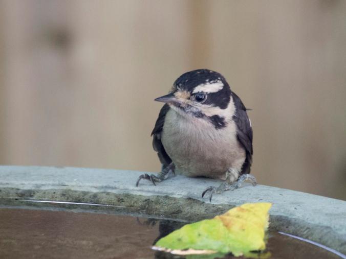 Downy at Birdbath