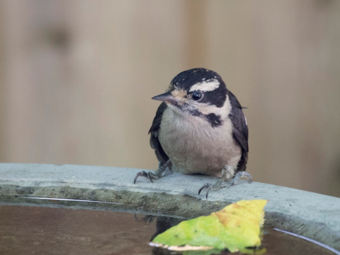 Downy at Birdbath