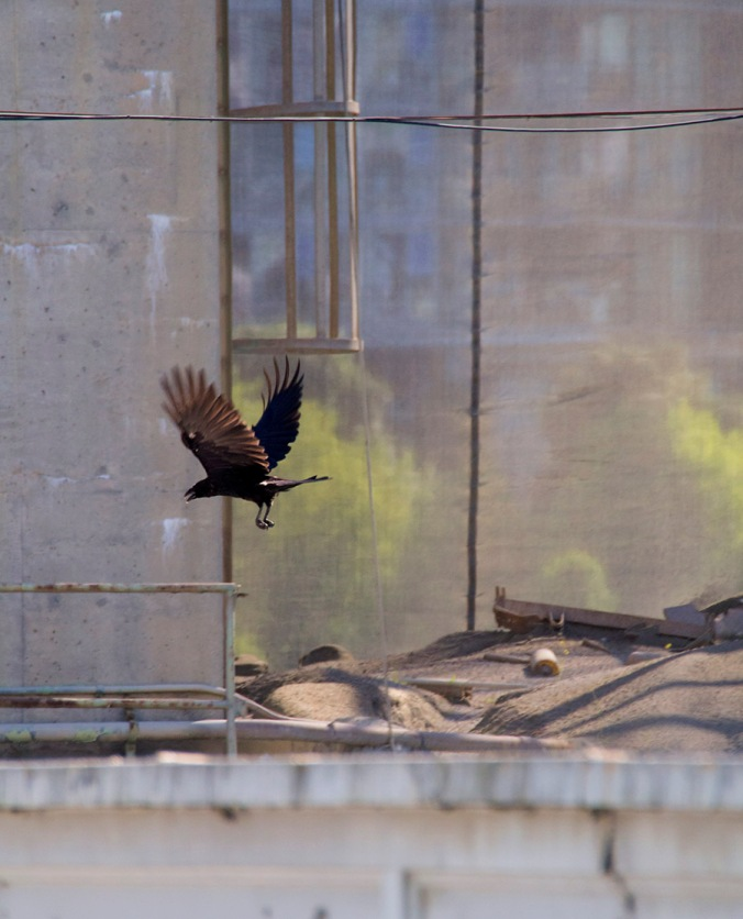 A raven soars effortlessly over the Granville Island cement plant.