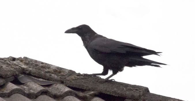 One of two ravens visiting our street today.