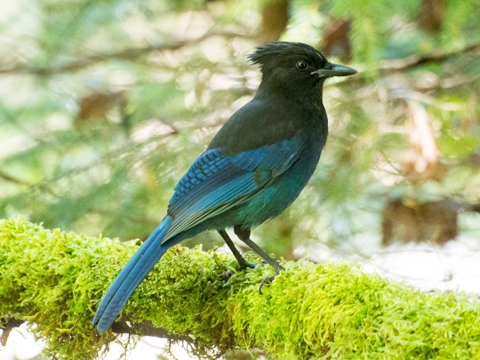 This is the original photograph of the Stellar's Jay taken in the woods outside Cumberland, BC.