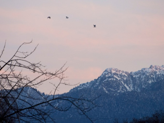 Gulls over the Mountains