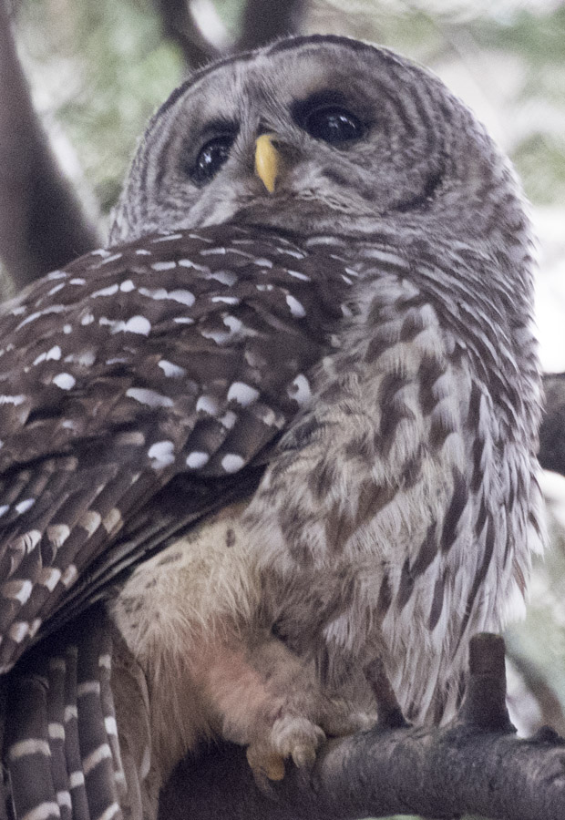 Barred Owl at VAG