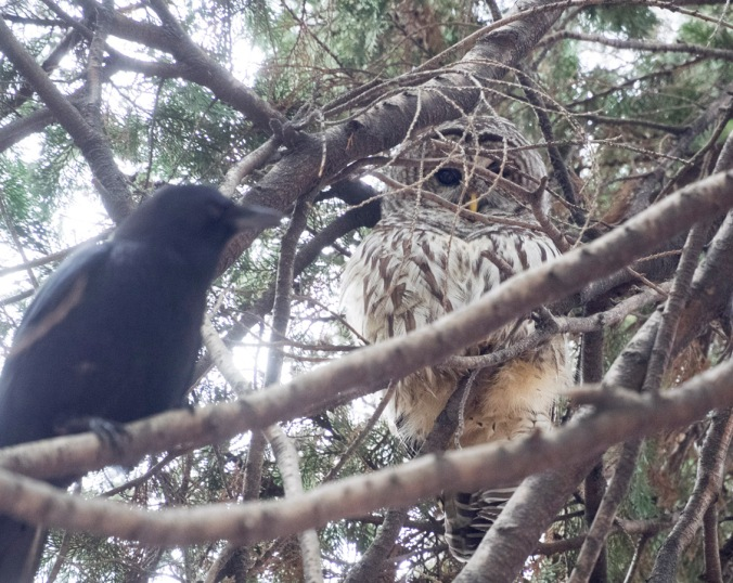 Crow-owl stand-off.