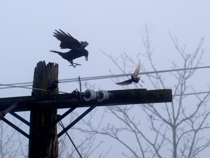 A crow and a starling seems set on a collision.