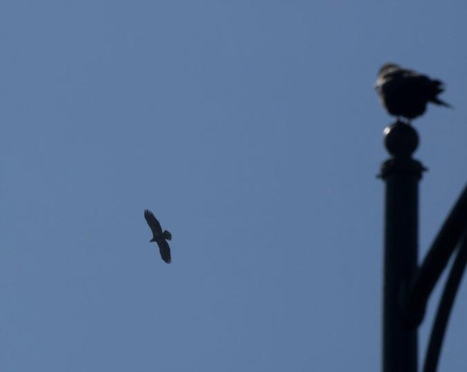 Hawk on High