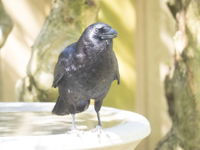 Crow Stands on Birdbath