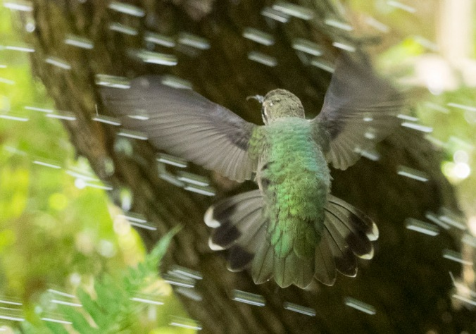 Hummingbird in Sprinkler