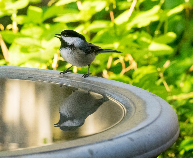 This little chickadee was waxing quite operatic at the birdbath.