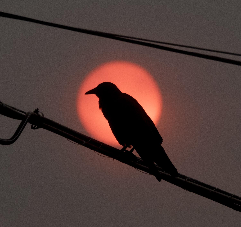 Crow Flying Upside Down Red Sun Crow