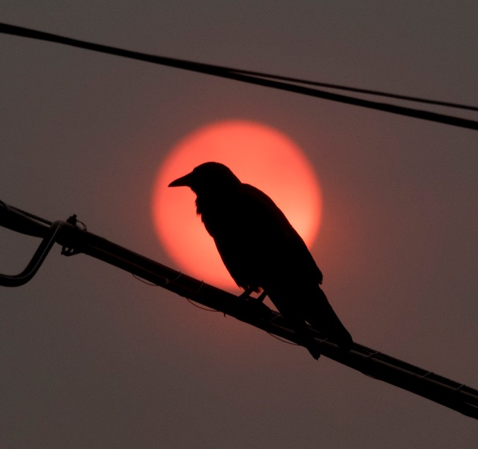 Crow silhouette against the eery red sunrise caused by smoke from forest fires