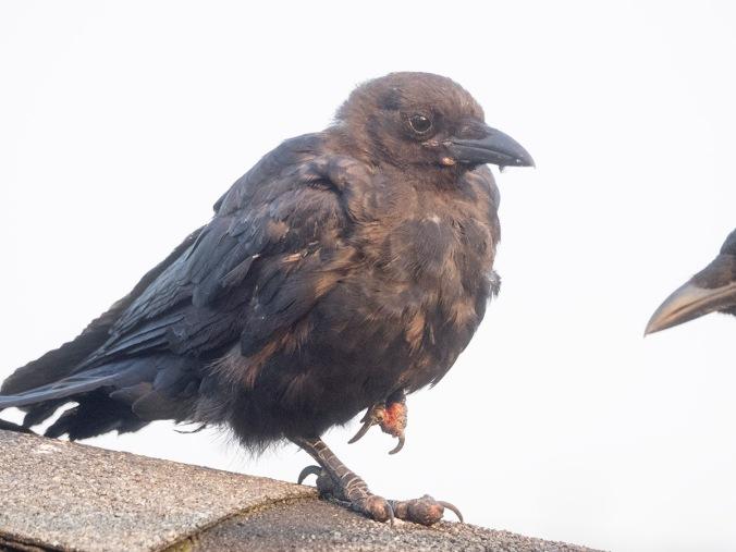 Sick baby crow