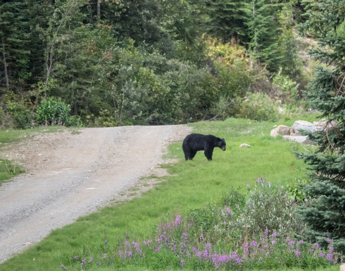 A black bear sighting on the gravel back road from Likely to Barkerville