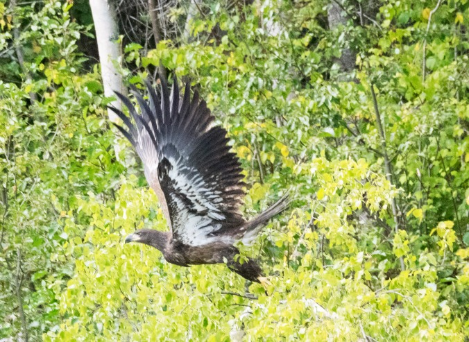 An immature bald eagle flies along the Quesnel river