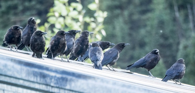 The Wells crow committee holding its nightly meeting.