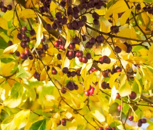 Gold and Scarlet - berries waiting to fall.