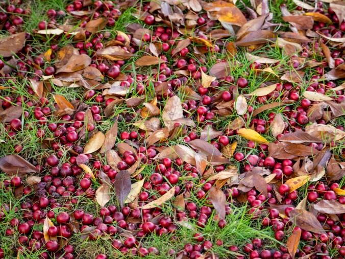 A bounty of fallen berries