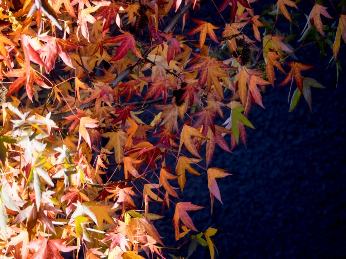 Maple leaves in bright sun and shadow