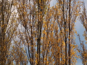 Lombardy poplars at Kaslo and Parker