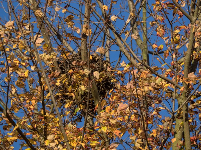 Now the leaves are falling, I can see the nest where Hank and Vera tried their hand/claws at parenting this spring.
