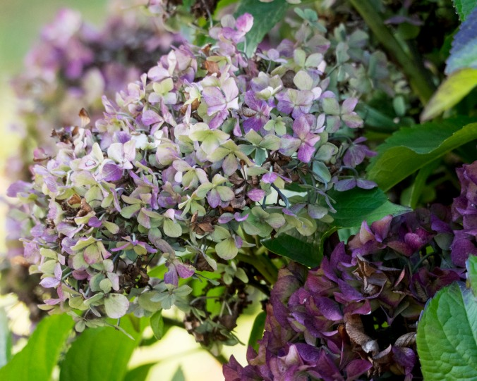Yet another version of hydrangea's autumn colour palette.