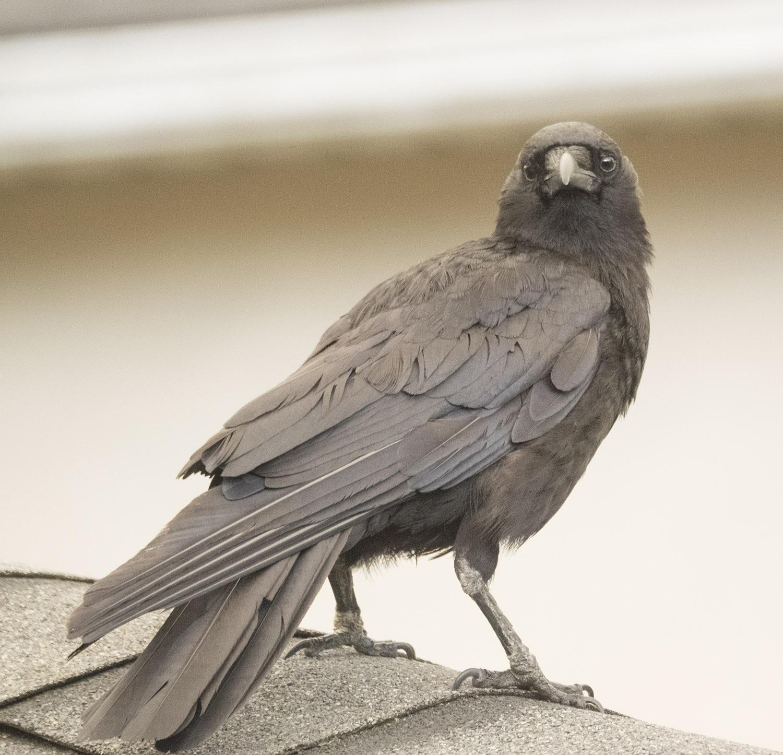 Crow Flying Upside Down Sepia Hank