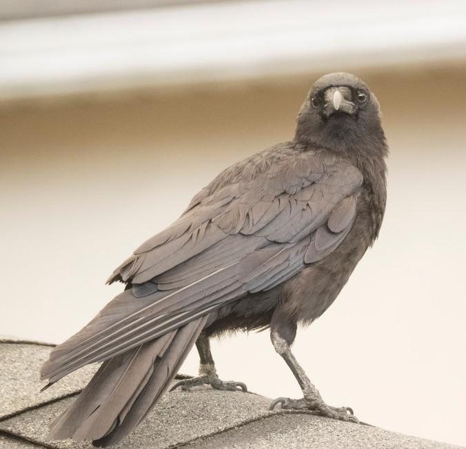 Smokey the Crow