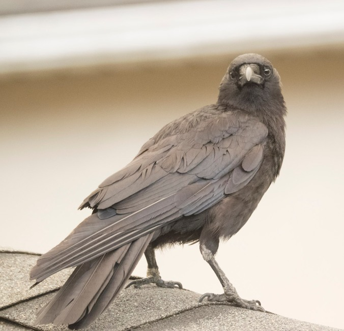 Smokey the Crow
