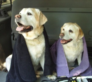 Post-swim Taz and Molly. Miss those dogs!