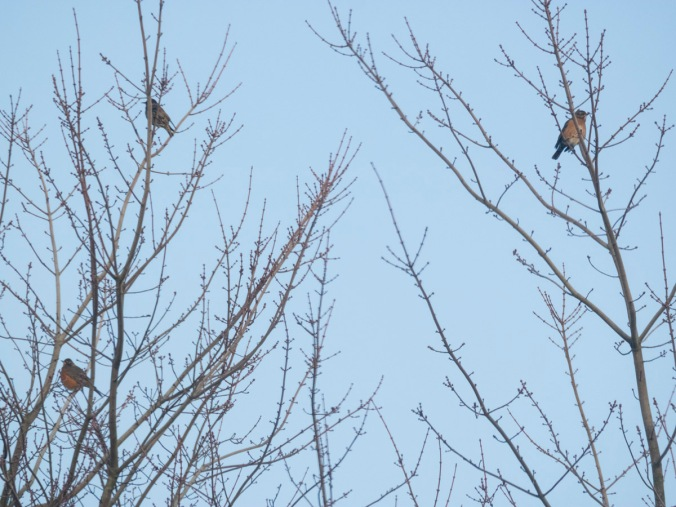 Two Robins, One Starling