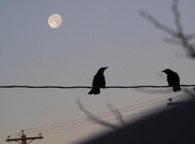 Crows enjoying the moonset as the sun rises.