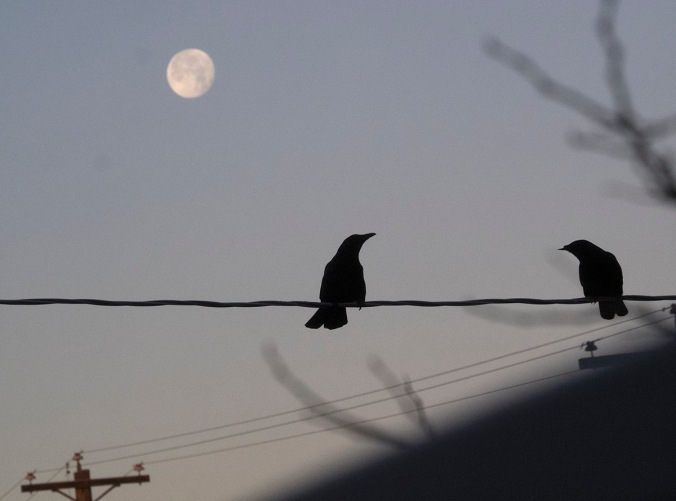 Crows enjoying the moonset as the sun rises.