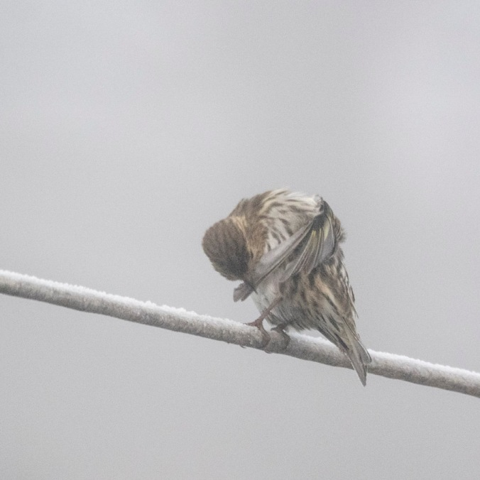 A pine siskin takes a moment in the ice fog for a little personal grooming.