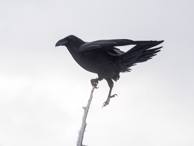 Raven acrobat. This is tricky, especially in a brisk wind.
