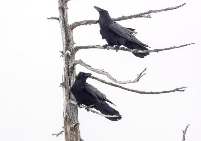Pair of ravens at Bowen Lookout, Cypress Bowl