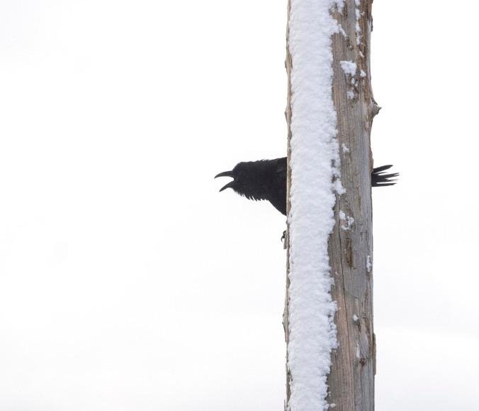 Raven call