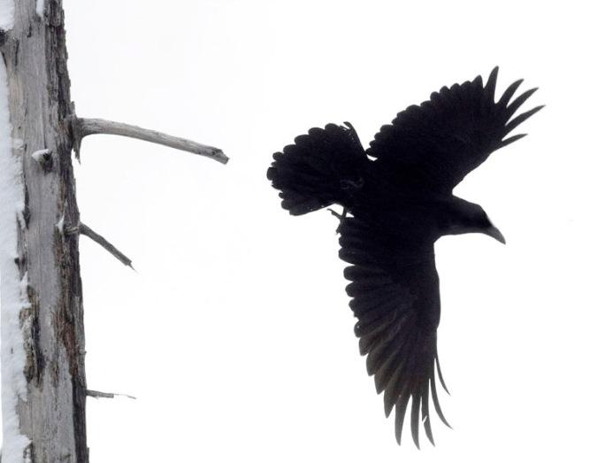 Raven Departure