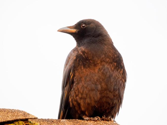 Copper Dawn Crow