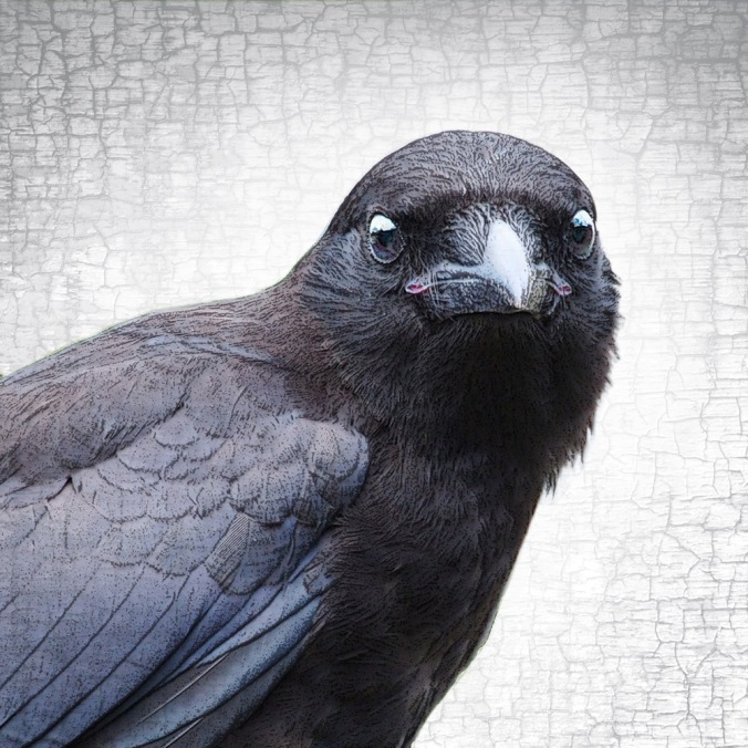 Baby Face Crow © June Hunter Images