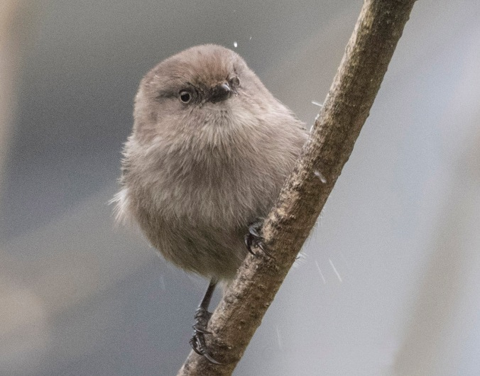 Bushtit in the Rain © June Hunter Images 2016