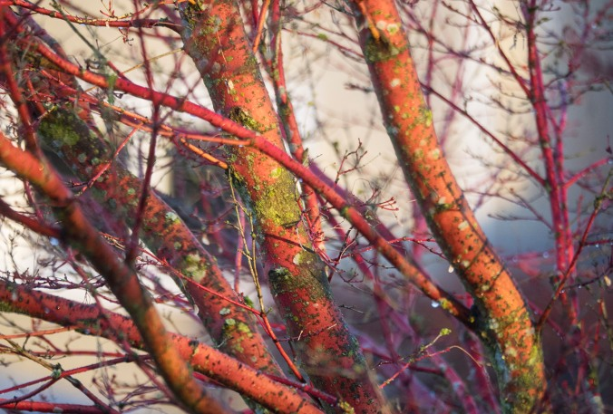 coral bark maple © June Hunter Images