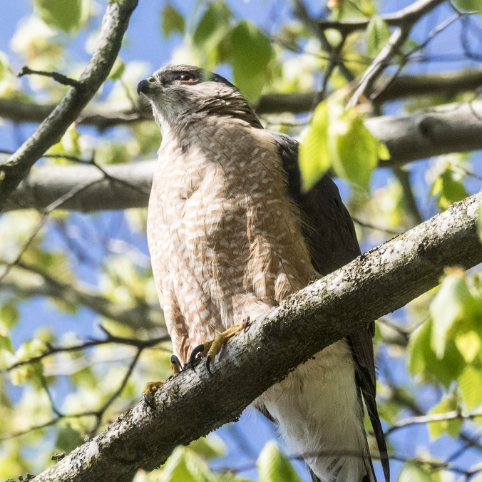 Coopers Hawk on William © June Hunter Images 2016