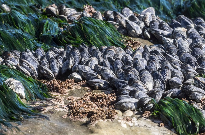 mussels at Botanical Beach © June Hunter Images 2016