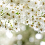 Spring Snowbells