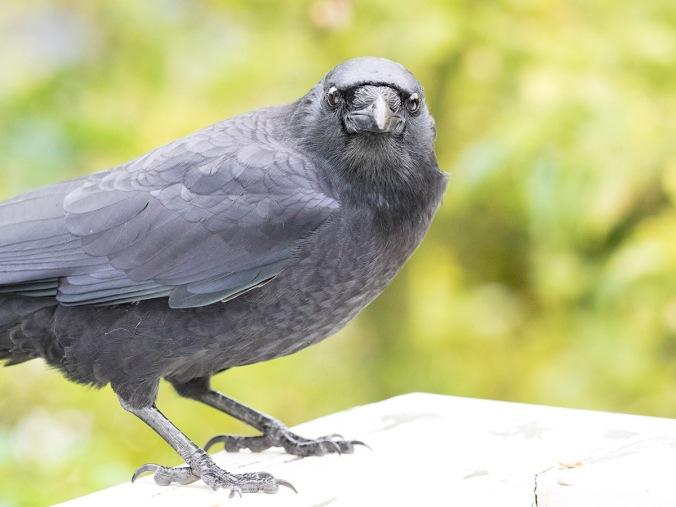 Vera the crow